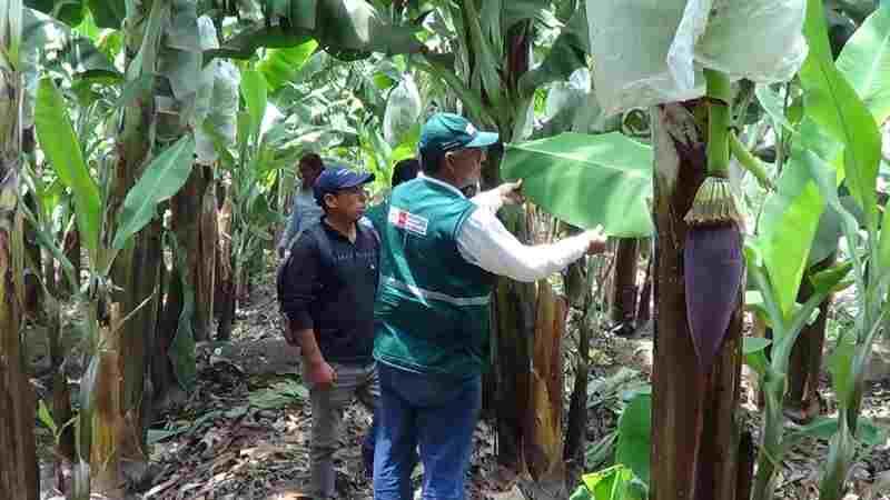 Senasa banano orgánico – Chepén